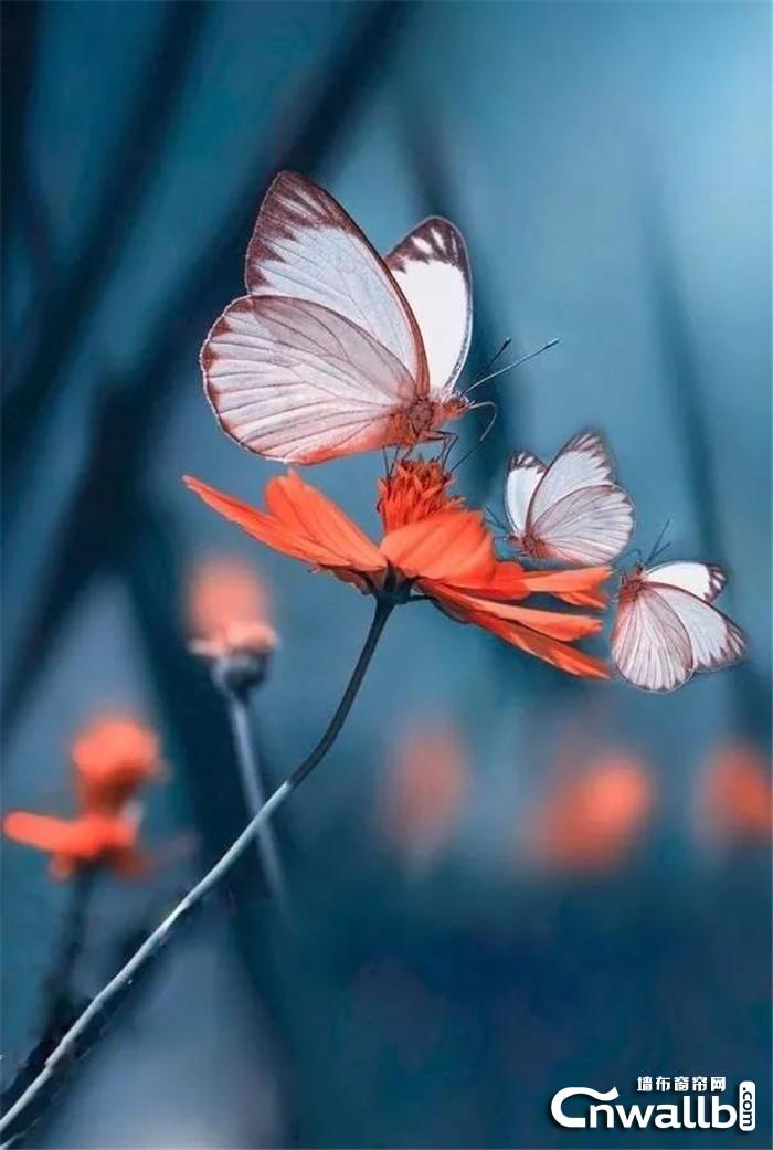 """科布斯新品墙布""""彩蝶"""",表达人们对美好生活的向往与追求!"""